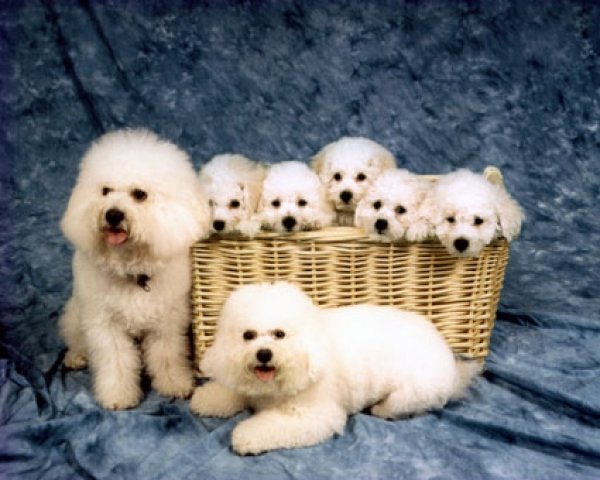 My first litter of Bichon puppies
